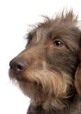 3 ans d'une chevelure de fil de dachshund brun vieux Images stock