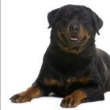 3 ans de rottweiler Photo libre de droits