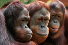 3 Apes onto something. Closeup of 3 apes looking at something interesting stock photos