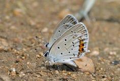 3 argiades蝴蝶everes 免版税库存图片