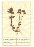 3 ark för 30 herbarium Arkivbilder