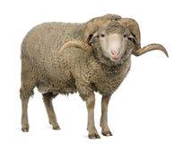 3 arles美利奴绵羊的老公羊绵羊年 库存图片