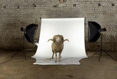 3 arles美利奴绵羊的老公羊绵羊年 库存照片