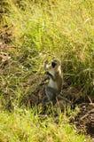 3 błękit małpi samango Zdjęcia Royalty Free