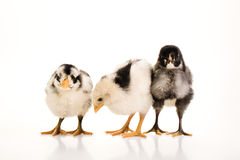3 Baby chickens together Stock Photography