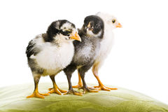 3 Baby chickens together Stock Image