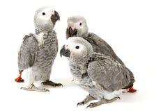 3 babypapegaaien die op wit worden geïsoleerde Stock Foto