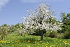 3 baden开花的果树园 库存图片