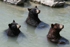 The 3 Bears. 3 captive bears begging for food Royalty Free Stock Image