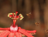 3 Bees and a Red Flower Royalty Free Stock Photo