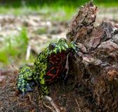 3 bellied жаба пожара Стоковое фото RF