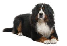 3 bernese狗位于的山老年 免版税库存照片