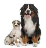 3 bernese παλαιά έτη βουνών σκυλιώ&n Στοκ Εικόνες