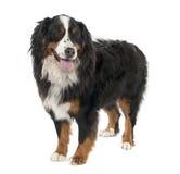 3 bernese psiego halnego starego roku Zdjęcie Royalty Free