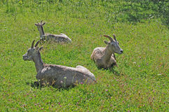 3 Bighorn in grass. Three female bighorn sheep rest in green grass stock images