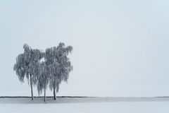 3 birches. Three birches standing in a winter landscape royalty free stock images