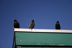 3 birds. Three starlings in a row on a rooftop against a deep blue cloudless sky royalty free stock photos