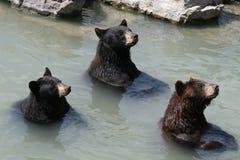 3 björnar Royaltyfri Bild