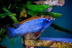 3 blåa fenor fiskar red Arkivfoto