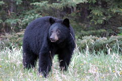 3 black bear Zdjęcia Royalty Free