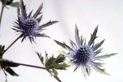 3 blomma scotland Arkivbild