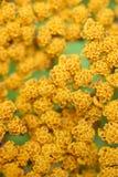 3 blommor mönsan yellow Royaltyfri Fotografi