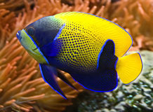 3 blue angelfish girdled Zdjęcia Stock