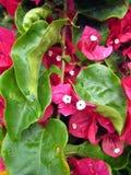 3 bougainvillea kwiatu menchii Zdjęcia Royalty Free