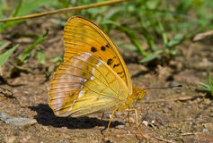 3 brenthis motyla ziemia Fotografia Stock