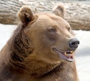 3 brown bear Zdjęcie Royalty Free