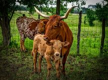 3 Brown Cow on Green Grass Field Stock Photo