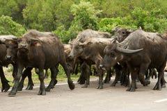 3 bufflar vietnam Arkivfoto