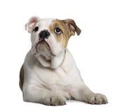 3 buldoga angielskich łgarskich miesiąc stary szczeniak Fotografia Royalty Free
