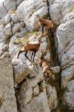 3 cabras-montesas Fotos de Stock Royalty Free