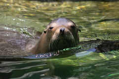 #3.California Sea Lion. stock images