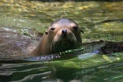 #3.California zeeleeuw. Stock Afbeeldingen