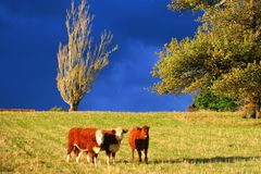 3 calves royalty free stock photography