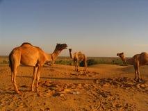 3 camelos Fotos de Stock Royalty Free