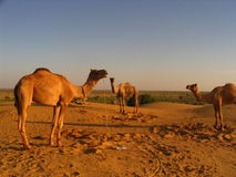 3 Camels. In the Desert Royalty Free Stock Photos