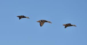 3 canards dans une ligne Photo libre de droits