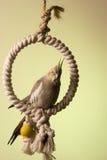 3 canelle小形鹦鹉 免版税图库摄影