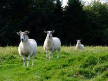 3 carneiros Foto de Stock Royalty Free