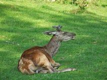 3 Carpathians łosia potomstwa Zdjęcia Stock