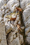 3 chamois. Are keeping the distance Royalty Free Stock Photos