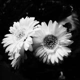 3 Chamomile Flowers Stock Image