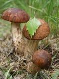 3 champignons de couche comestibles sauvages   Photographie stock libre de droits