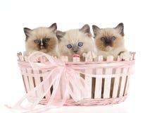 3 chatons de Ragdoll dans le panier rose de cadeau Image stock