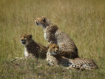 3 Cheetahs in Masai Mara Royalty Free Stock Photo