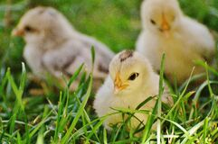 3 Chicks on Green Grass royalty free stock photos