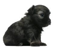 3 chien l老小的小狗wchen几星期的狮子 库存照片